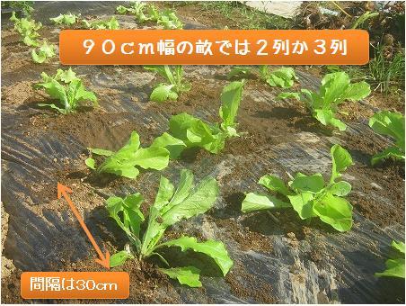 植え付けたサンチュの苗