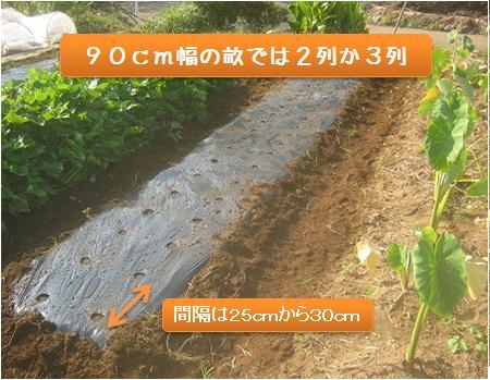 大根の種まき間隔