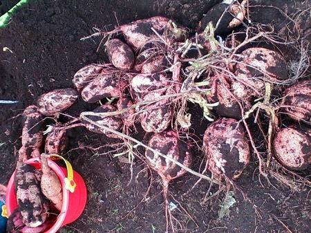 支柱栽培で収穫した安納芋