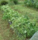 サツマイモの「つる返し」は大事な作業