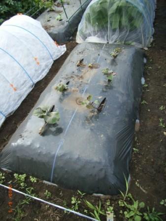 サツマイモを通常通り植えつける