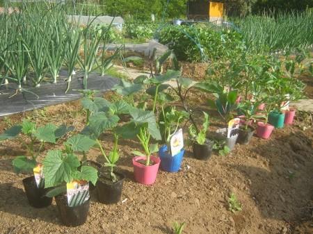 植え付け前の野菜の苗