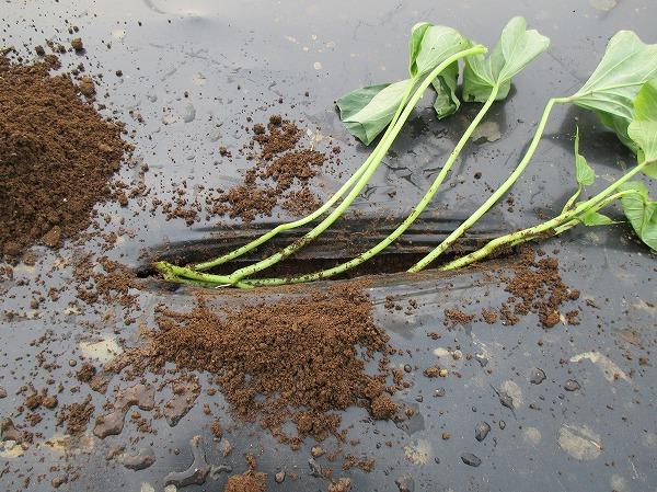 植え穴に苗を置く