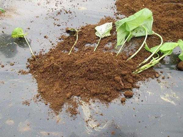苗に土を被せる