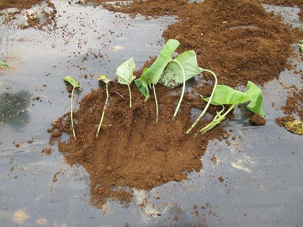 植え付けたサツマイモの苗