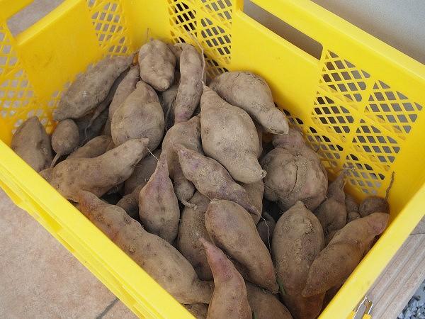 良く乾かしたサツマイモ