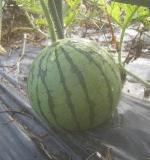小玉スイカの育てやすい品種