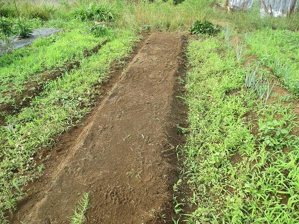 落花生を栽培する畝