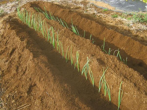 長ネギの苗の植え付け