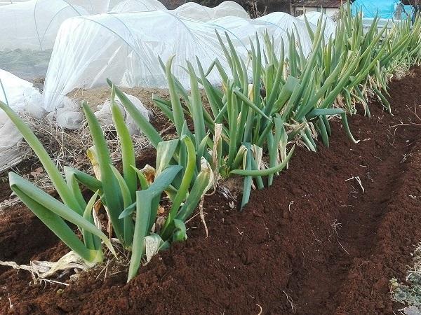 収穫適期の長ネギ