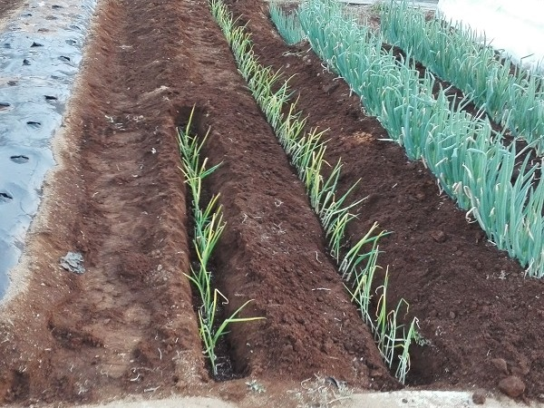長ネギの苗の植えつけ