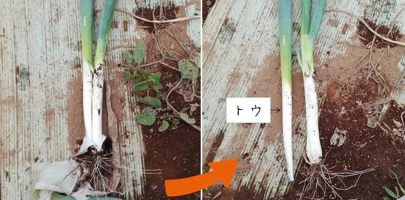 花茎は株から離れる