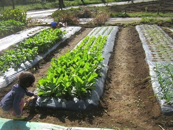栽培中のホウレンソウ