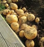 [春作]ジャガイモの育て方とコツ