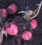 [秋作]ジャガイモの育て方