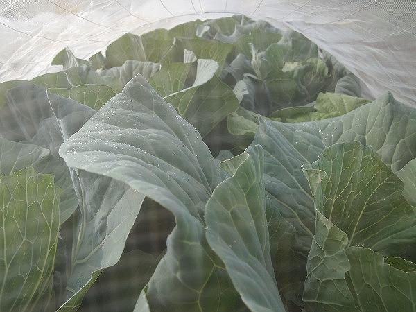 栽培中のキャベツ