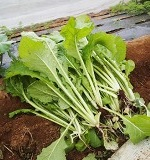野沢菜の育て方