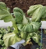高菜の育て方とコツ