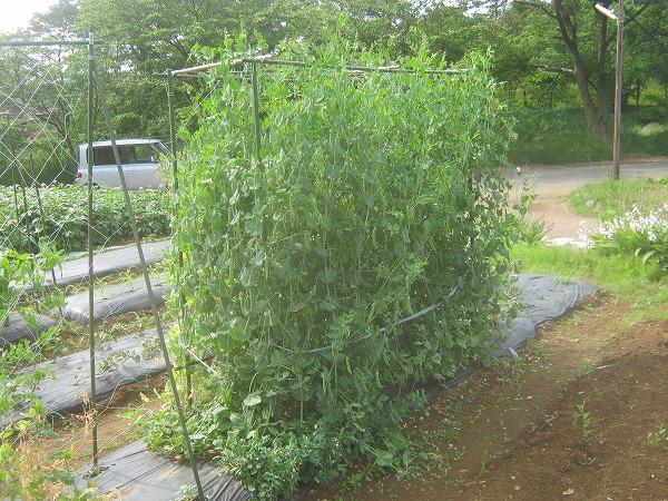 栽培中のエンドウ