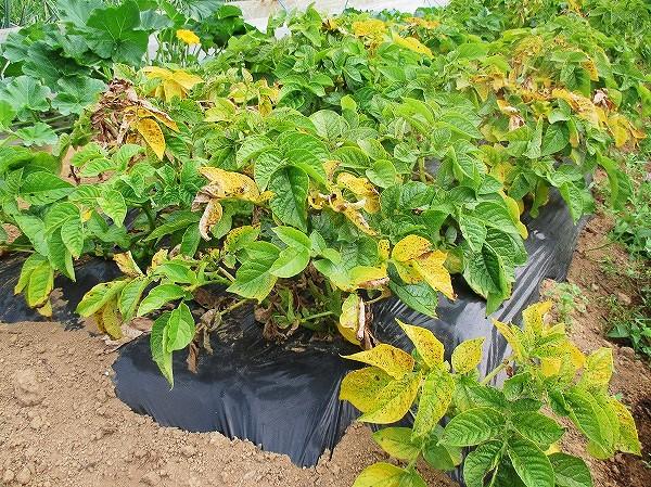 茎や葉が黄色く枯れてきたジャガイモ