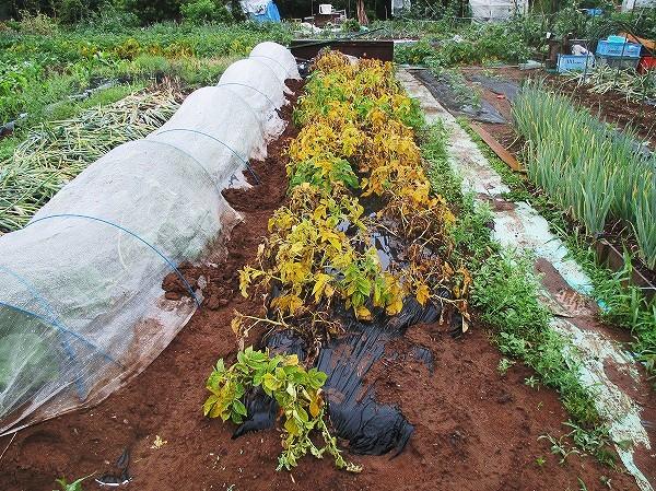 ジャガイモの収穫適期