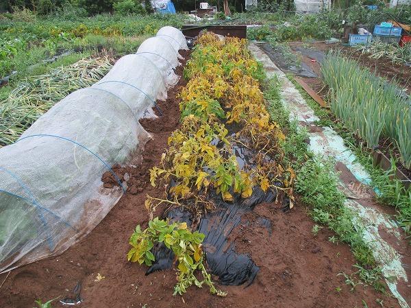 収穫時期を迎えたジャガイモ