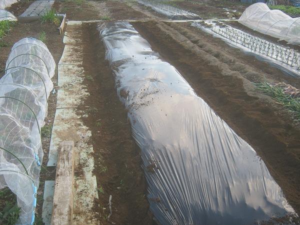 ジャガイモの栽培用に準備した畝