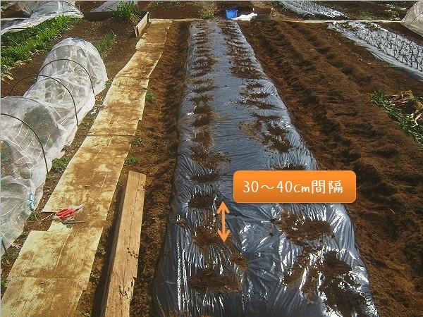 ジャガイモの植えつけ間隔