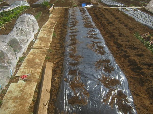 種芋を植え付け終わったところ