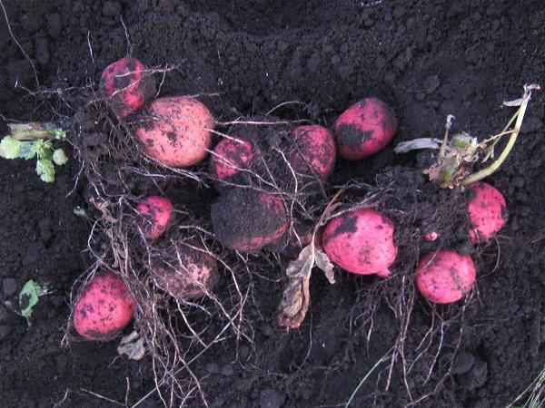 秋作で収穫したアンデスレッド