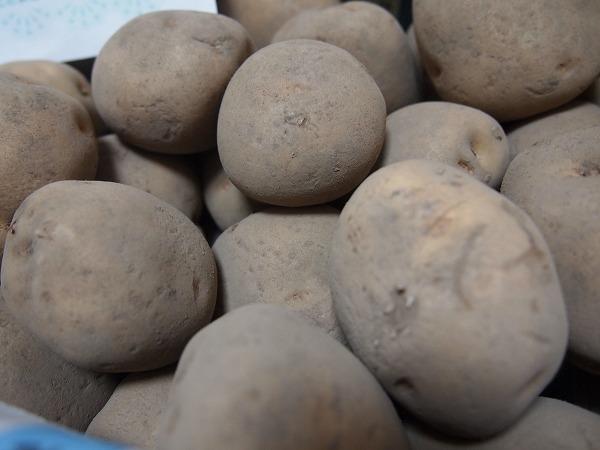 休眠中の種芋