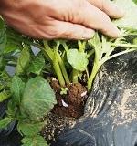 ジャガイモの芽かきの理由・やり方