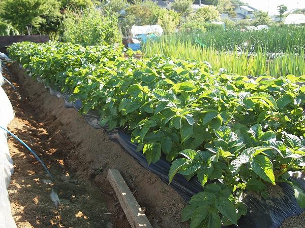 栽培中のジャガイモ
