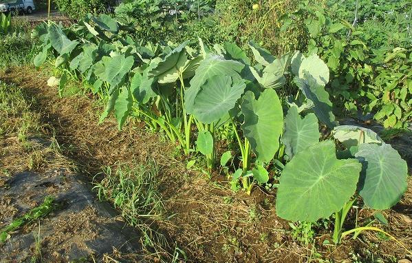 栽培中の里芋