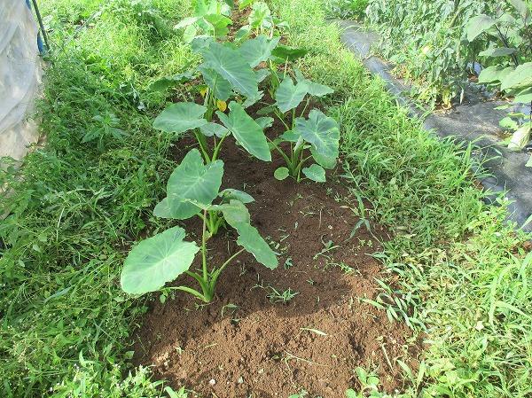 除草した里芋の畝