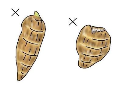 里芋の悪い種芋
