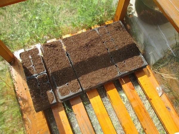 種まきしたセルトレイを苗床に置いたところ
