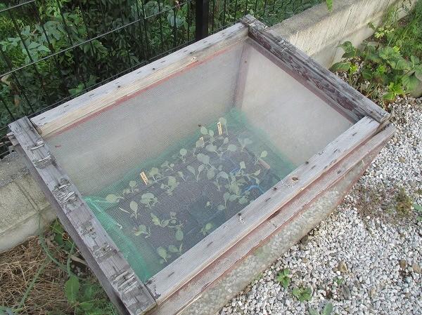 苗床ですくすく育つ野菜の苗