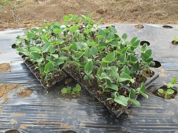 セルトレイで育てた枝豆の苗