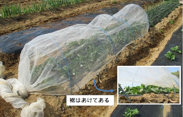 イチゴの鳥害対策に防虫ネット