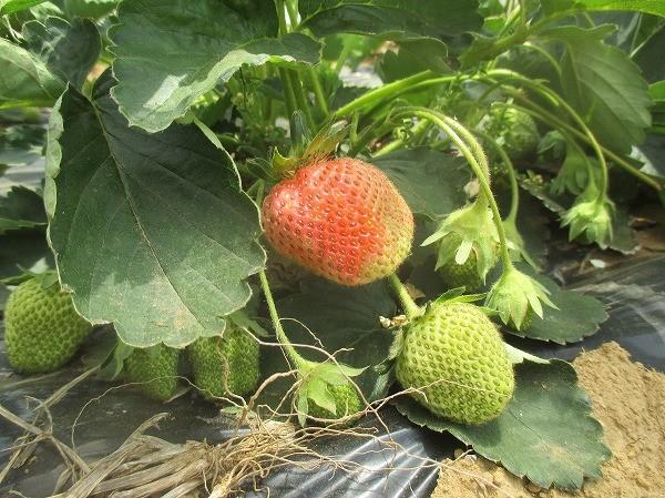 間もなく収穫期を迎えるイチゴ