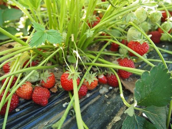 収穫時期を迎えたイチゴの実