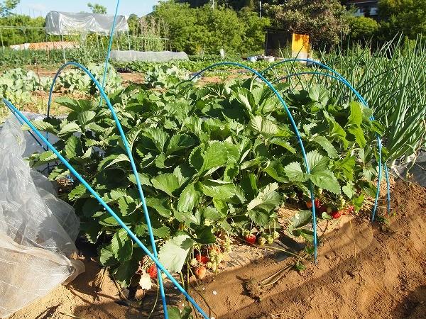 収穫時期を迎えたイチゴ