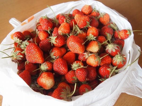 採りたてのたくさんのイチゴ