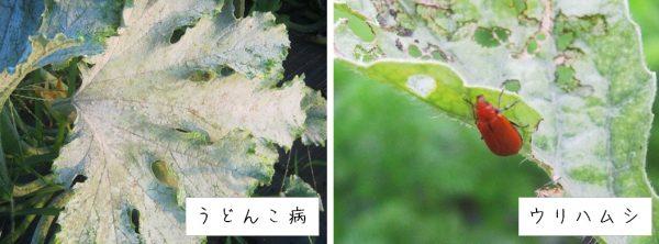 ミニカボチャの病害虫
