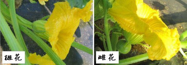 ミニカボチャの雄花と雌花