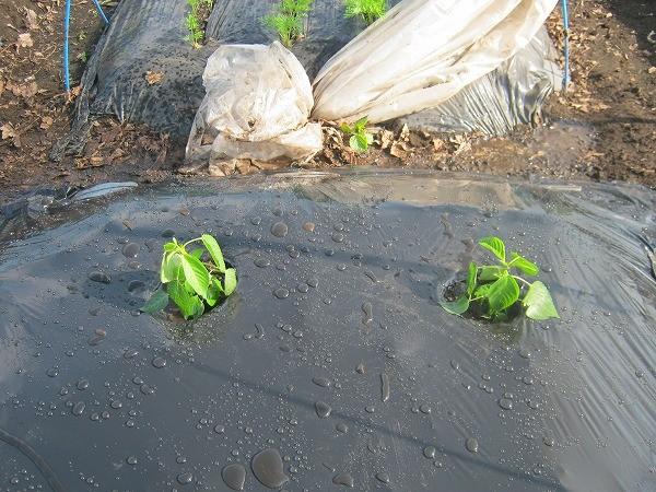 モロヘイヤの苗を植え付けたところ