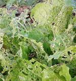 白菜の害虫対策