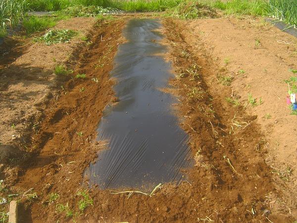 トマトを植えるために準備した畝