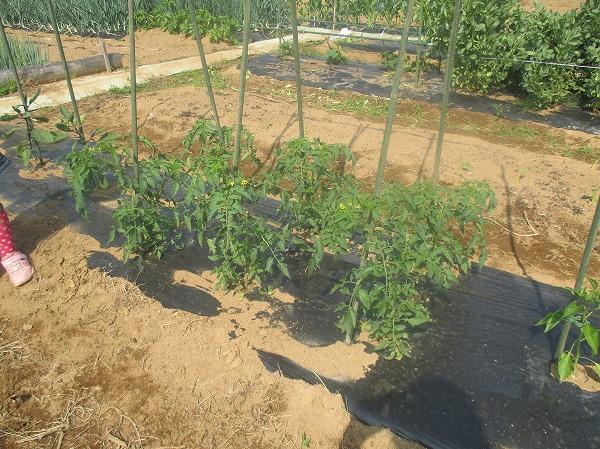 栽培中のトマト